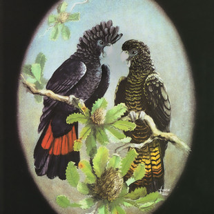 Red-tailed-Black-Cockatoos-.jpg