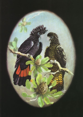 Red-tailed-Black-Cockatoos