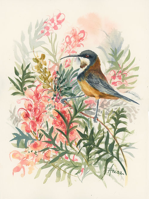 Eastern Spinebill in Grevillea