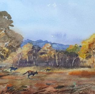 Kangaroos at Wattle Flat