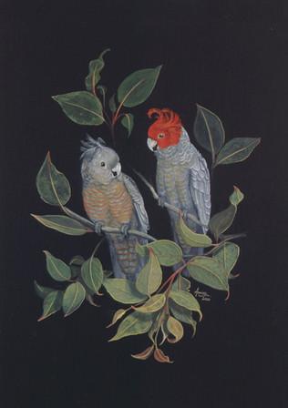 Gang-gang-cockatoos