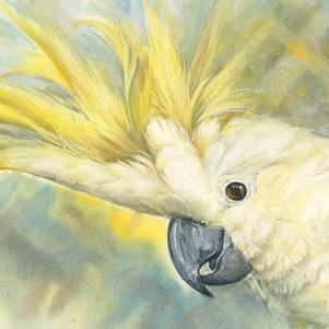 Sunny-the-Sulphur-crested-Cockatoo