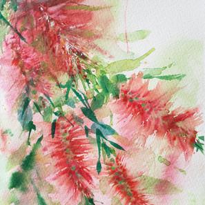 Red Botlebrush