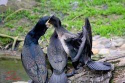 Hungry Cormorant