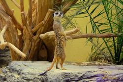 Meerkat Looking for Friends