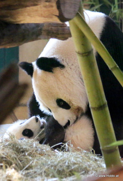 Mom and Baby Panda