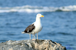 Seagulls, 4 Legs