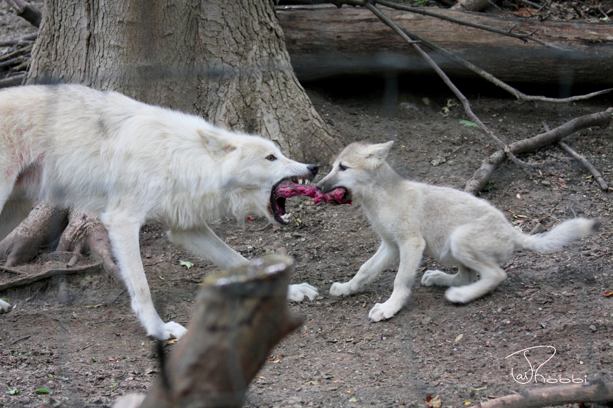 Workshop for Baby Wolf