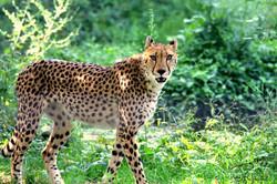 Jaguar Looking for Yummi