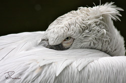 Pelican Takes a Nap