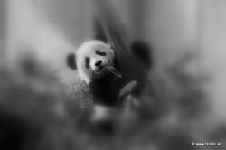 Baby Panda Climbing a Tree