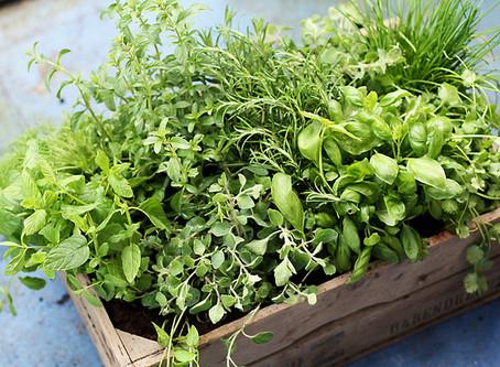 עשבי תיבול = צמחי מרפא