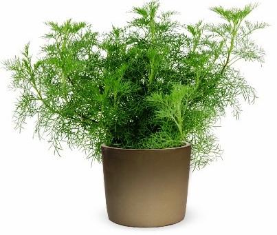 """""""צמח הקולה"""" - צמח תבלין חדש של משתלות חישתיל"""