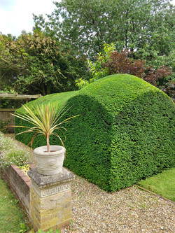 Yew hedge trimming