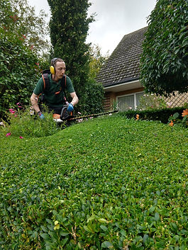 Cutting a box hedge with our stihl battery hedge cutter