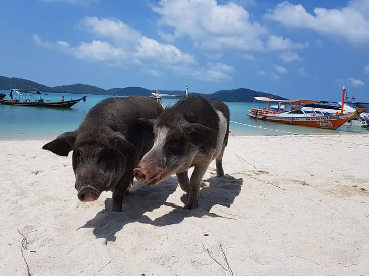 Island Pig