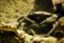 crab zeeland.jpg