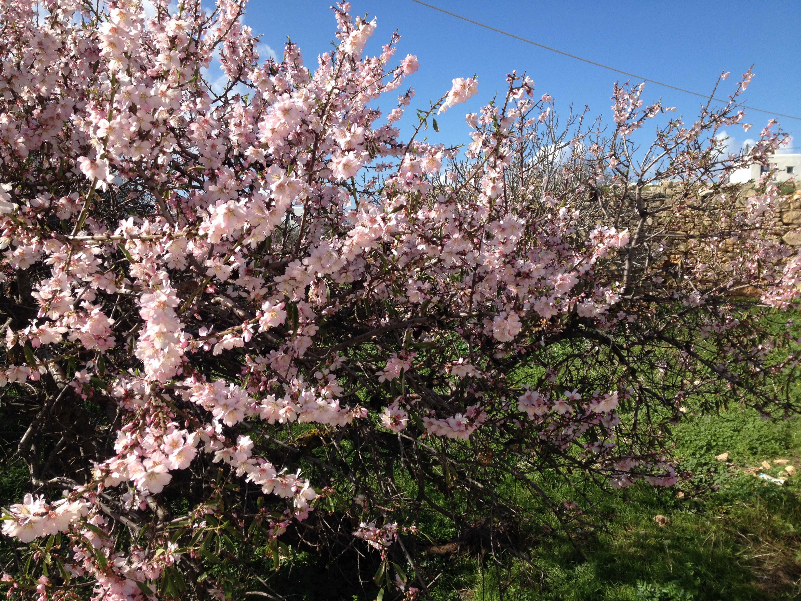 Almond-trees in blossom