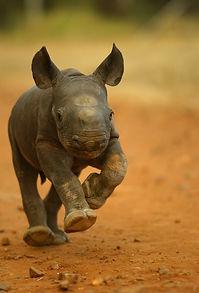 used baby rhino.jpg