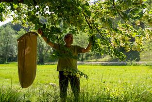 Quand une coopérative ouvrière relance la culture locale du tilleul
