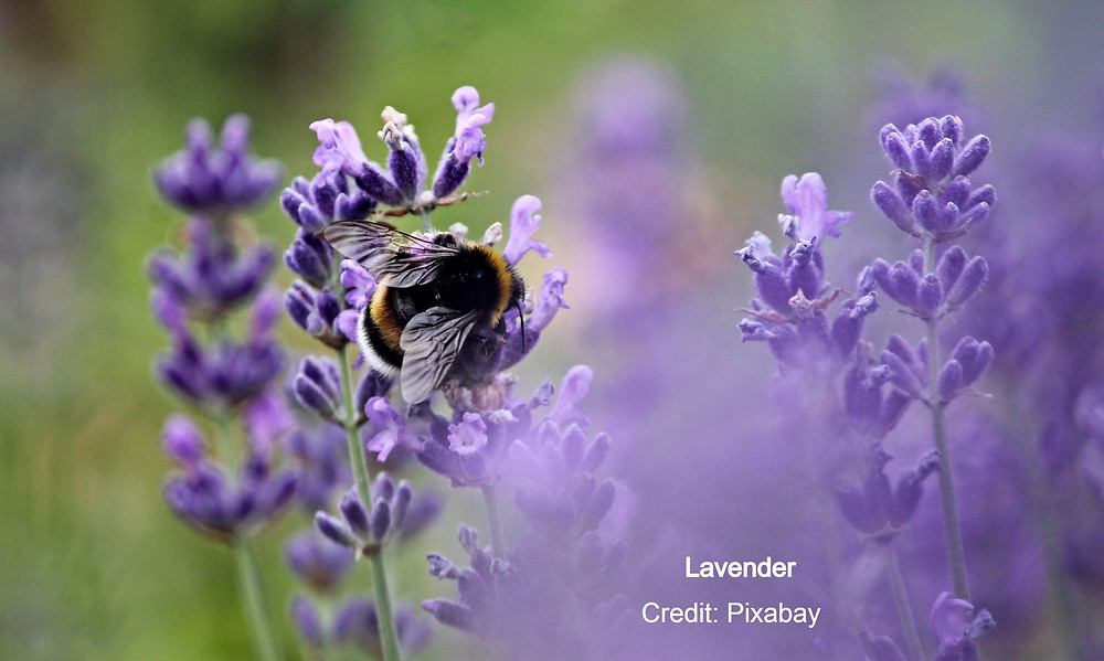 Bee on Lavender by Pixabay