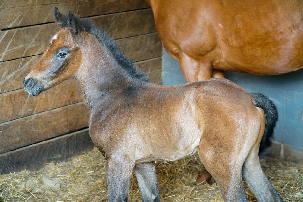 Unbridled Spring filly at Springcliff Farm, Indiana.