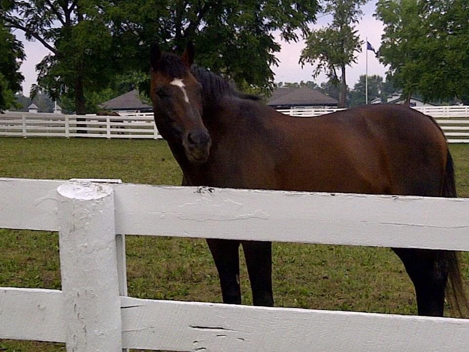 Breeders' Cup Classic & Dubai World Cup winning racehorse Cigar at the Kentucky Horse Park, 2012, Lexington, KY