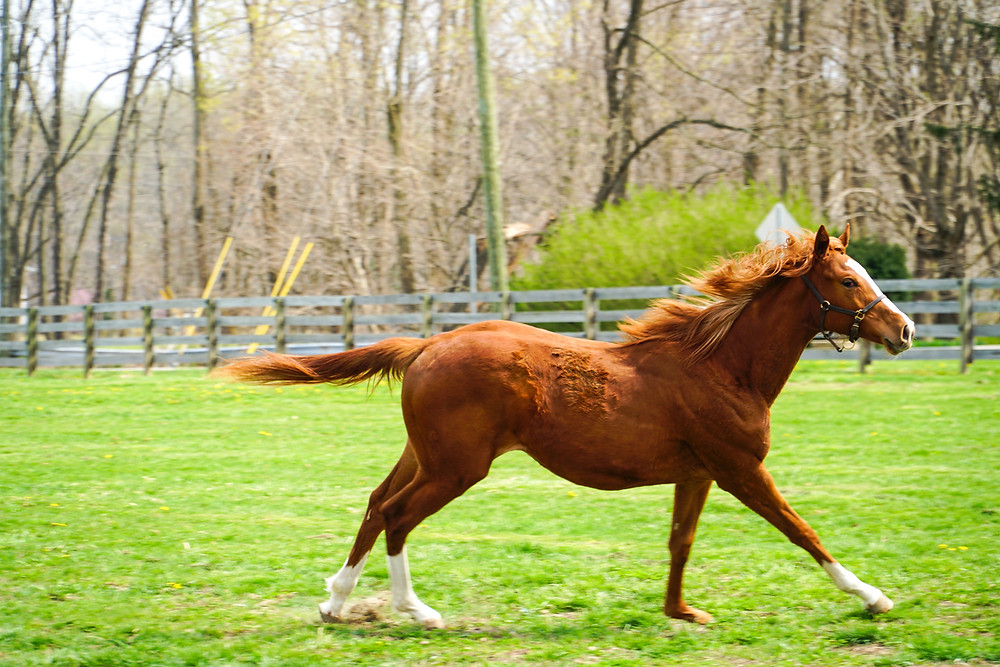 Yearling filly by Race Day at Springcliff Farm, Indiana.