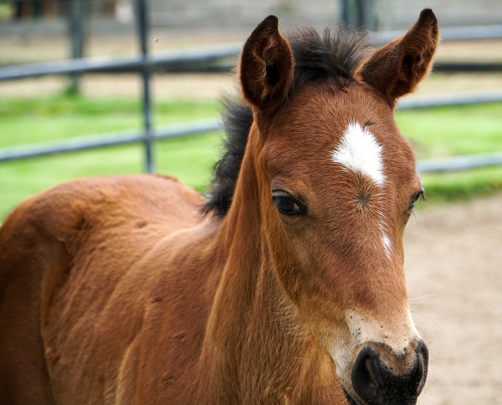 Indiana-bred Thoroughbred foal at Breakway Farm. Dillsboro, Indiana. Treasure of the Midwest