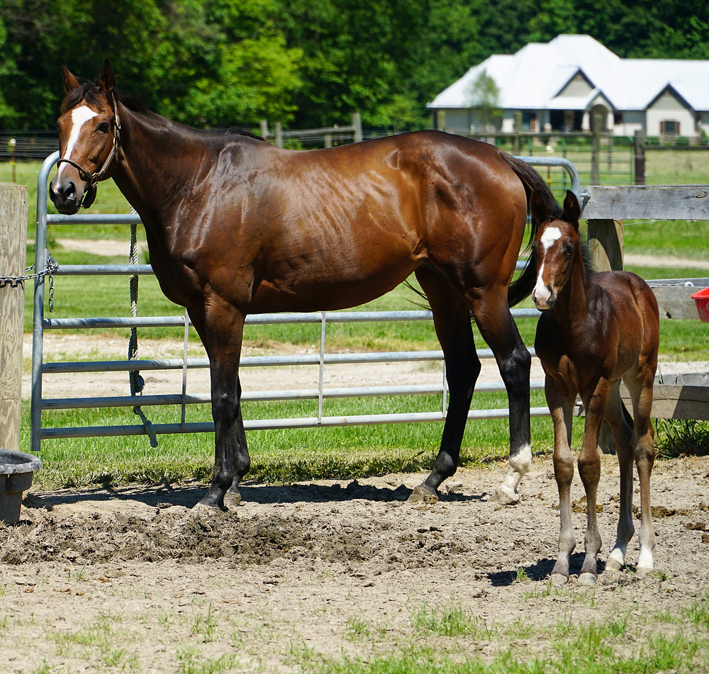 Ready's Image colt, Springcliff Farm, Indiana Thoroughbred