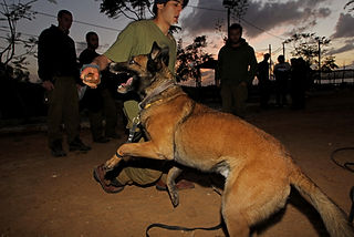 In the picture and IDF soldier from the Canine unit during training with a German Sheperd