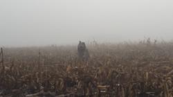 Aiko in corn fog