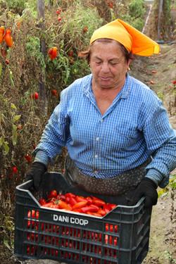 Hand picking San Marzano