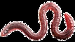 default_worm1_edited_edited.png