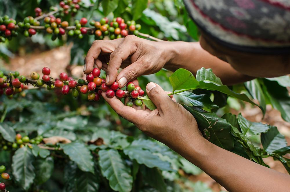 Происхождение кофе: Эквадор