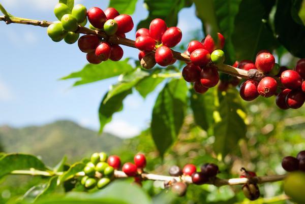 потенциал спешелти кофе
