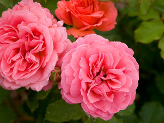 15 Fragrant Garden Flowers