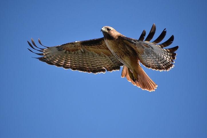 hawk-Akasha.jpg