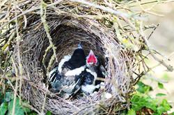 Bébés nid