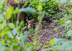 Faon Bambi