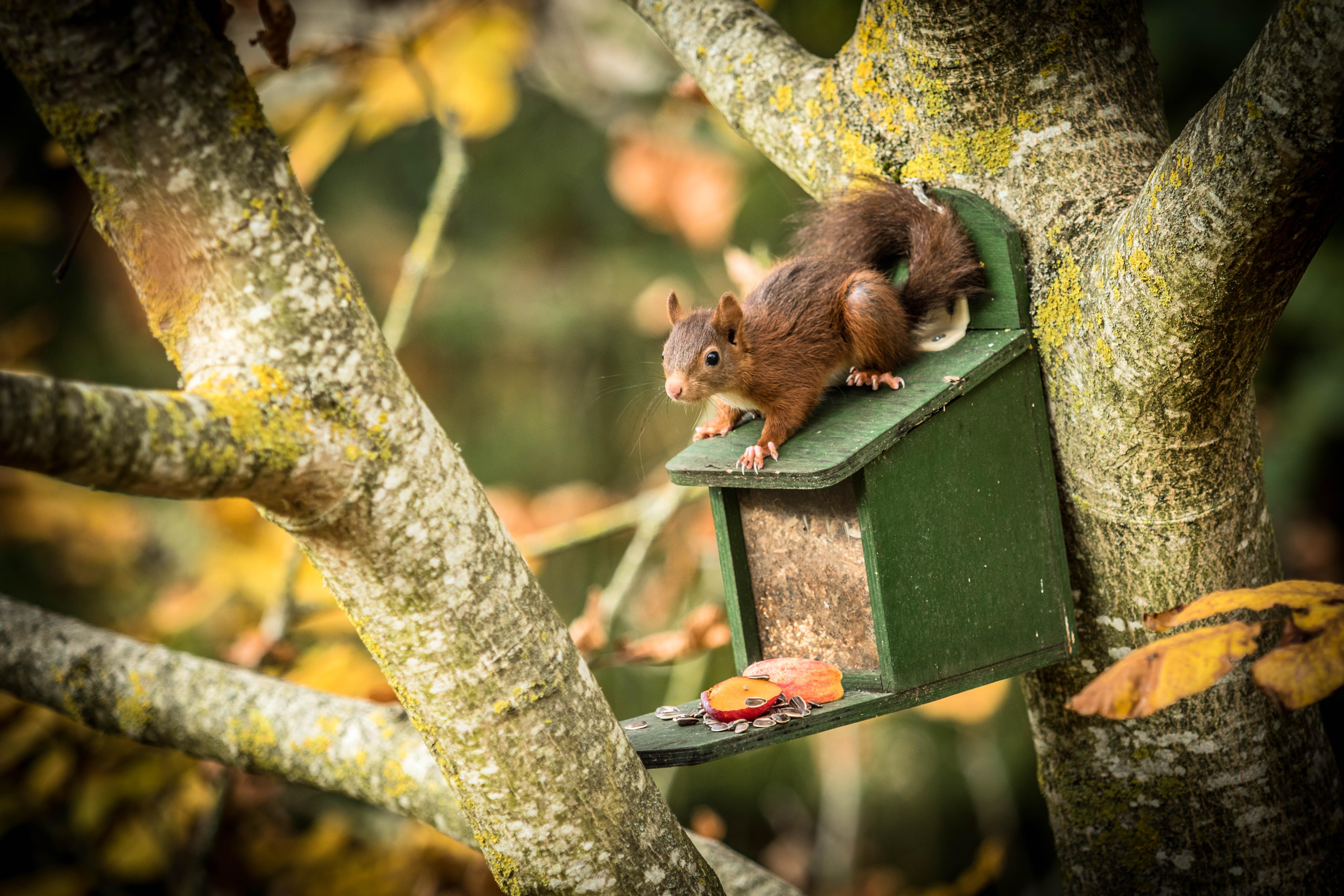 Ecureuil cherche à manger