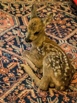 Bambi faon