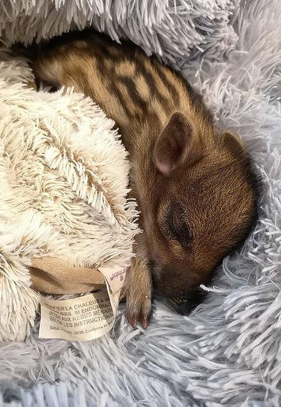 Marcassin qui dort