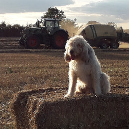 Oscar on hay bale