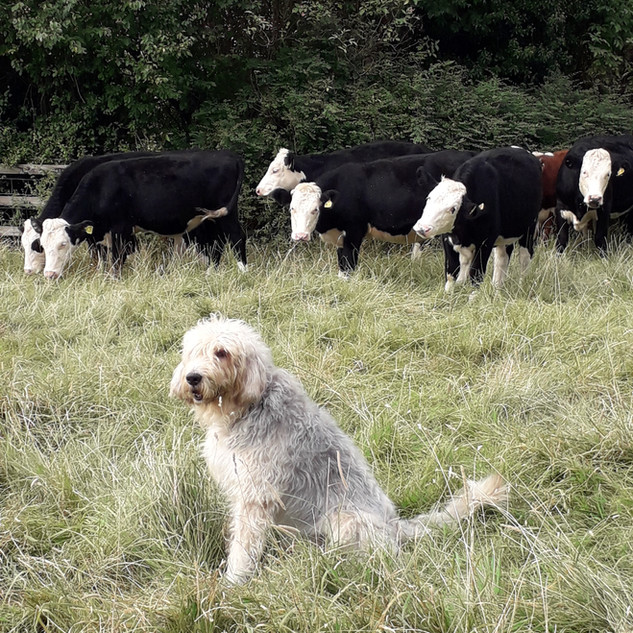 Oscar and Cows