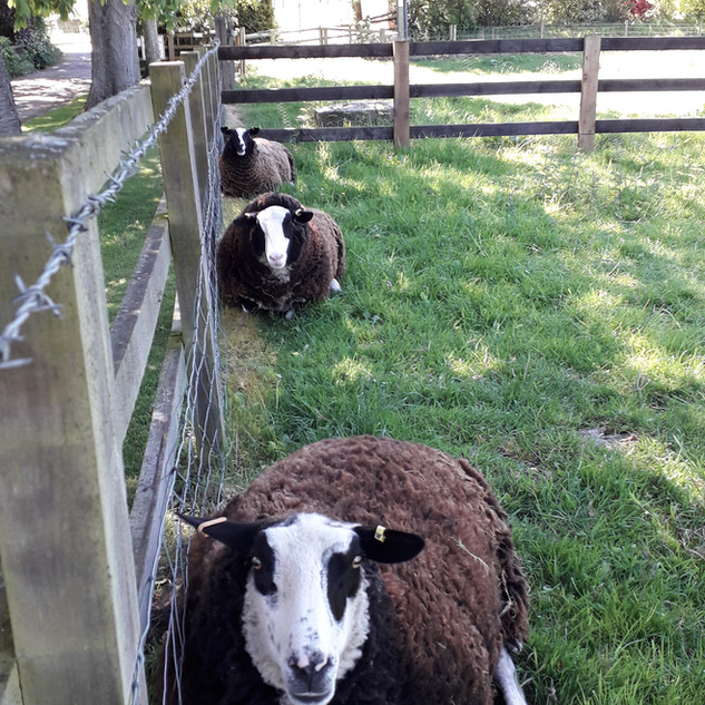 Zwartble ewes