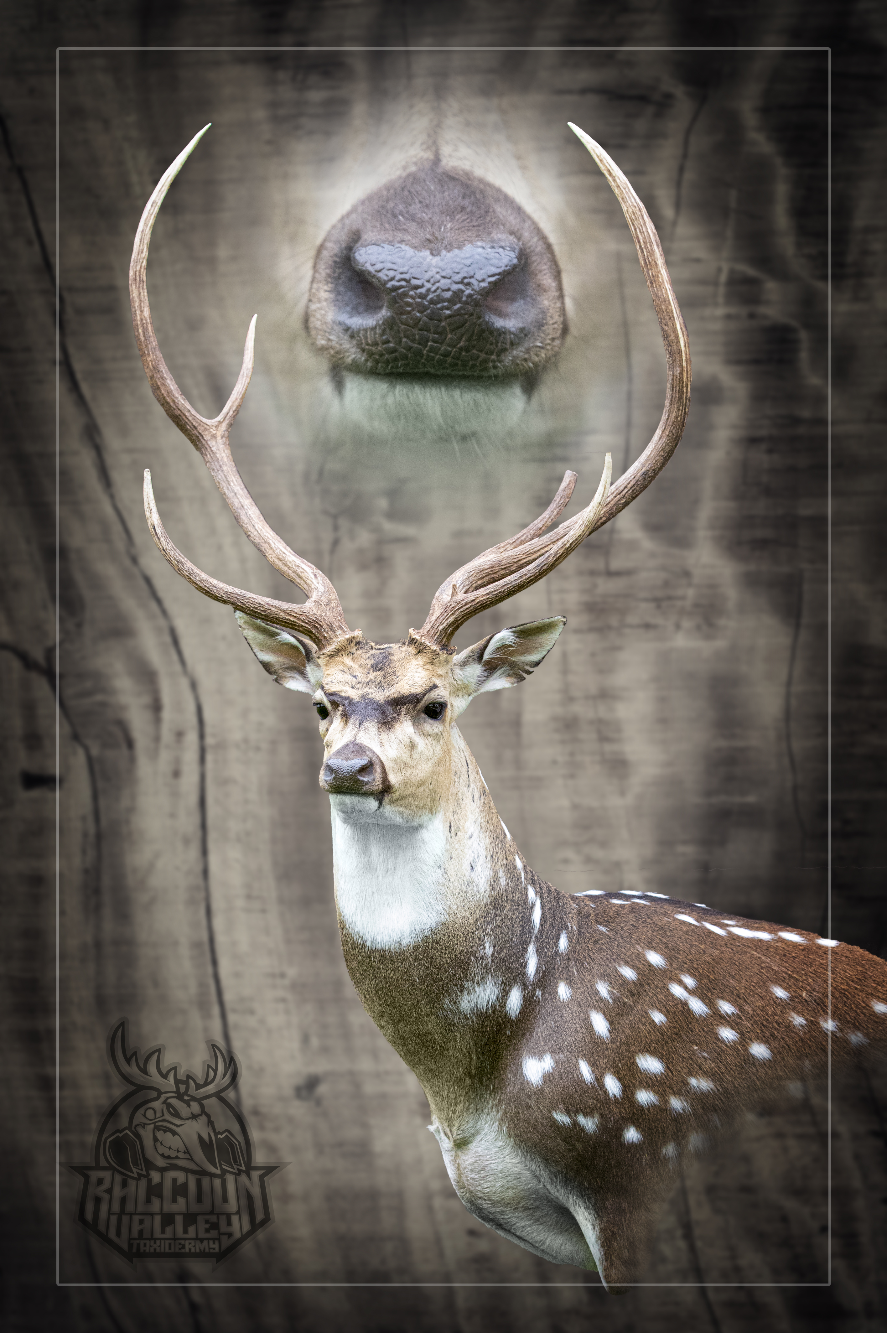 Axis or Chital Deer