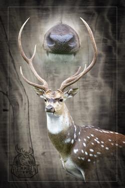 Axis or Chital Deer