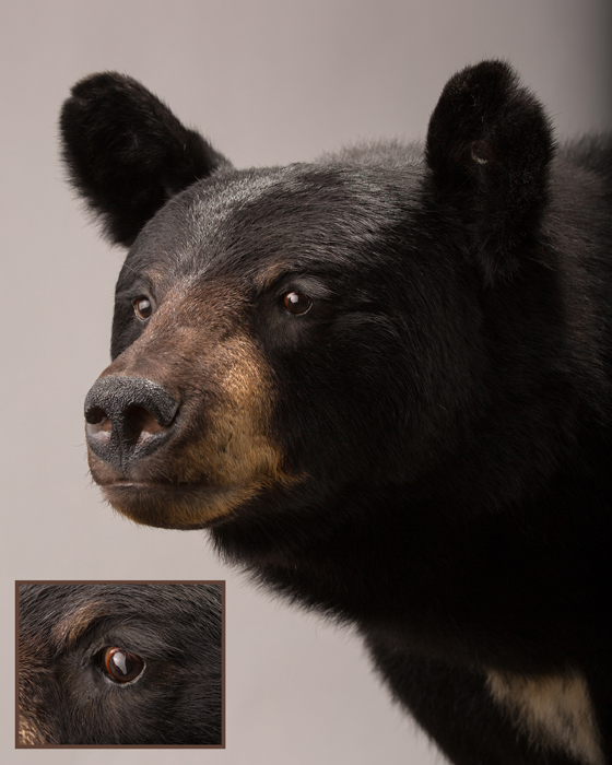 Black Bear Taxidermist in Iowa