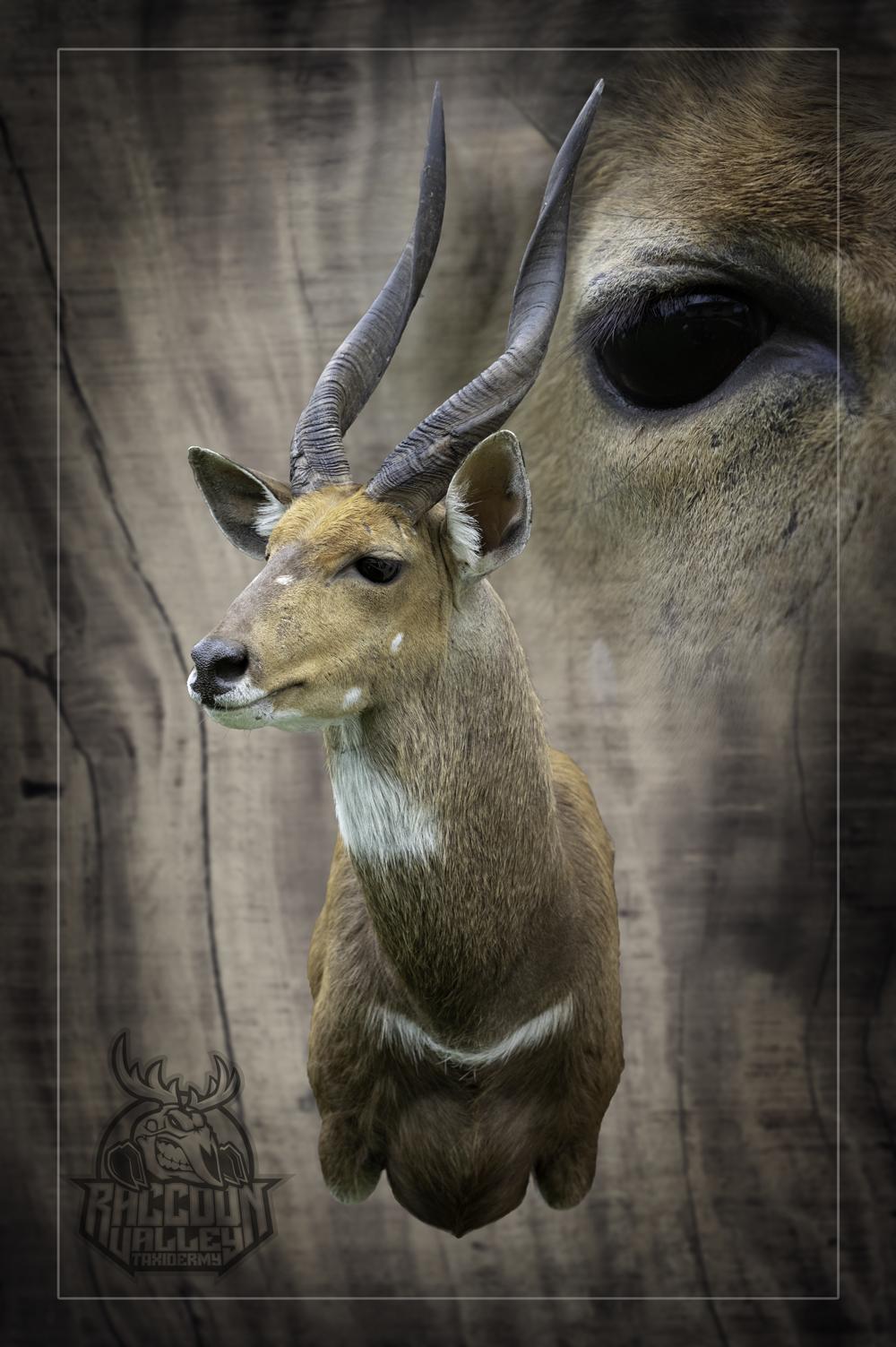 African Bushbuck